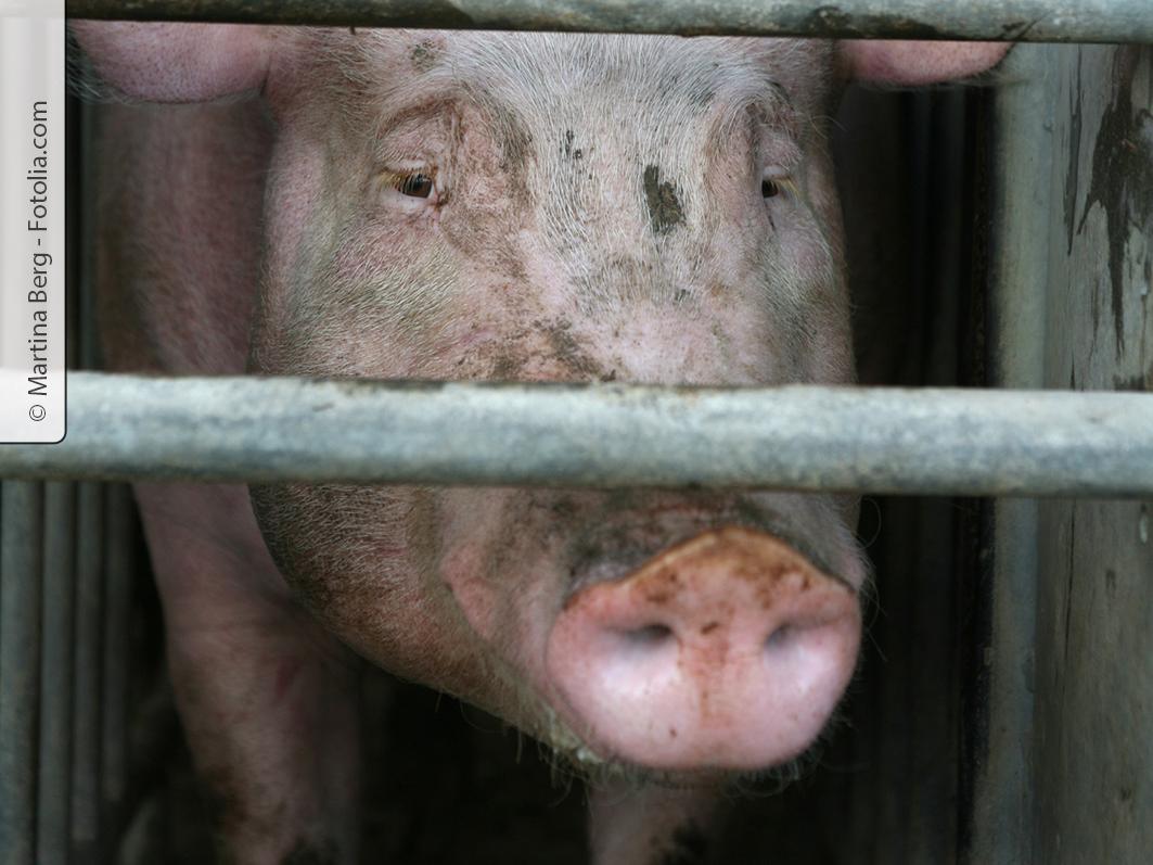 Am Elend der Massentierhaltung ändert nur eines etwas: Die Bereitschaft der Verbraucher, deutlich mehr Geld für Fleisch zu bezahlen.